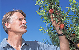Horticulturist examines the Japanese-type plum Sierra: Click here for full photo caption.