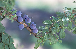 Prunus spinosa plums: Click here for full photo caption.