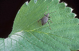 Adult black vine weevil: Click here for full photo caption.