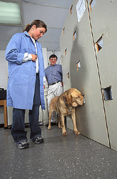 Photo: Rusty, a yellow Labrador mix, practices sniffing water samples as trainers--an Auburn university veterinary student and her professor--look on. Link to photo information