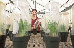 Plant geneticist infests greenhouse colonies with biotype of Russian wheat aphid: Click here for full photo caption.