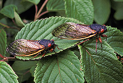 Photo: Cicadas. Click the image for more information about it.
