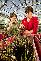 Photo: In greenhouse, Christina Walters and Lisa Hill collect the seeds and label the flowers of wild-rice. Link to photo information