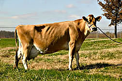 GEM, a transgenic dairy cow. Link to photo information