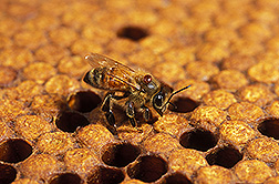 Photo: Close up of honey bee with a mite on its body. Link to photo information