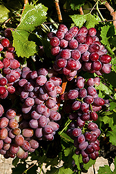 Clusters of Scarlet Royal grapes on the grapevine. Link to photo information