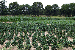 This field is in its third year of rotating bell pepper, sweet corn, and cucumber: Click here for full photo caption.