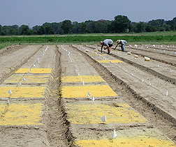 Summer worker and agronomist manually apply corn gluten meal for organic weed control tests: Click here for full photo caption.