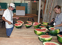 Summer intern and technician collect samples from six different varieties of watermelon: Click here for full photo caption.