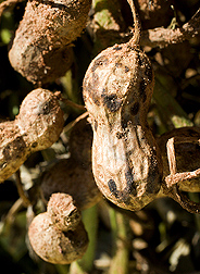 Mature peanut pod infected with pod rot caused by the fungus Rhizoctonia solani: Click here for photo caption.