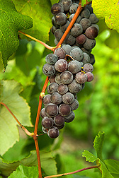 A cold-hardy, disease-resistant hybrid from the grape germplasm collection: Click here for full photo caption.