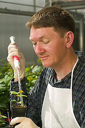 Peter Cousins inoculates a grape seedling with an aggressive root-knot nematode strain. Link to photo information