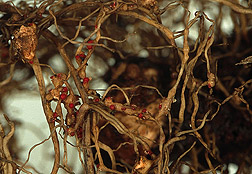 Grape roots infected with root-knot nematodes: Click here for full photo caption.