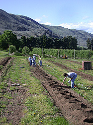 An ARS research apple orchard in Wenatchee, Washington, being replanted in spring 2005: Click here for photo caption.