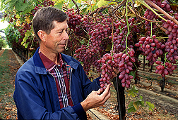 David Ramming examines grapes ripening on a vine. Link to photo information