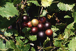 Muscadine grapes: Click here for full photo caption.