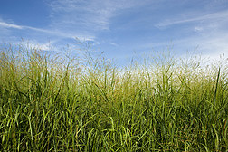 Elite bioenergy switchgrass growing in eastern Nebraska: Click here for photo caption.