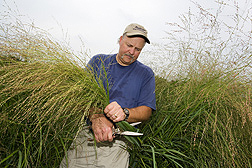 Geneticist harvests switchgrass seed as part of a breeding program to develop new cultivars: Click here for full photo caption.