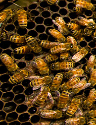 Bees on a honeycomb. Link to photo information