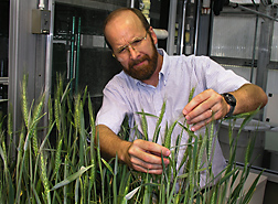 Plant pathologist scores greenhouse wheat treated with microbial antagonists for symptoms of Fusarium head blight: Click here for full photo caption.