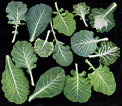 A sampling of leaves from different Carolina collard landraces clearly shows leaf variation among them: Click here for photo caption.