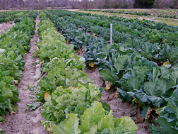 Field plots at Charleston, which contain grow-outs of collard samples collected from Carolina seed-savers: Click here for full photo caption.