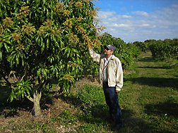 At the ARS Subtropical Horticulture Research Station in Miami, Florida, geneticist evaluates early flowering in a mango seedling selection: Click here for full photo caption.