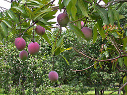 Fruit of the Florida cultivar Tommy Atkins is just one of several hybrids that produce dependably over a range of environmental conditions: Click here for photo caption.