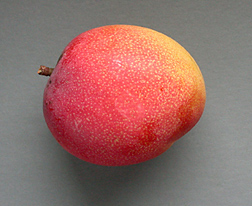 Fruit of the Florida cultivar Haden, a monoembryonic mango whose characteristics include fine flavor, bright colors—such as red and orange—and a round shape: Click here for full photo caption.