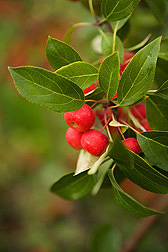 The Manchurian crab apple (Malus baccata) is native to temperate and tropical Asia: Click here for photo caption.