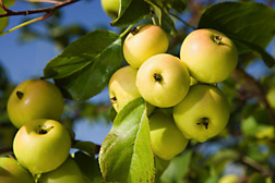 The European crab apple (Malus sylvestris) can be found from Scandinavia to Greece: Click here for photo caption.