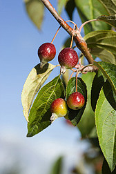 The wild apple (Malus sikkimensis) is native to temperate and tropical Asia: Click here for photo caption.