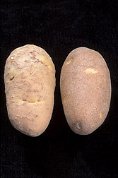 A potato infected with Columbia root-knot nematode (left) and a healthy potato: Click here for photo caption.