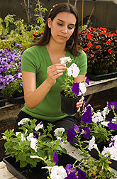 Technician Linda examines the effects of silencing functionally unknown genes to determine their influence on petunia flowers' longevity: Click here for full photo caption.