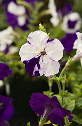 "The white areas on these normally purple-colored petunias are the result of a research technique called ""virus-induced gene silencing"" (VIGS): Click here for full photo caption."