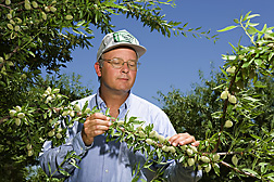 Photo: ARS geneticist Craig Ledbetter examines nuts on an almond tree branch. Link to photo information