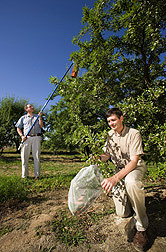 Entomologist (right) bags almonds to exclude navel orangeworm while entomologist hangs a pheromone dispenser to disrupt the pest's mating: Click here for full photo caption.