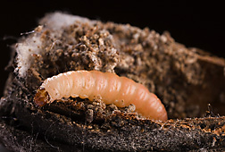 A fifth instar navel orangeworm larva infesting a Nonpareil almond: Click here for photo caption.