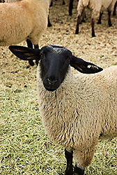 A sheep from a flock established and maintained to be free of MCF and OPP viruses: Click here for photo caption.