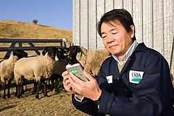 Veterinary microbiologist selects MCF virus-free sheep for a viral replication study: Click here for full photo caption.