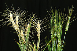 A Chinese resistant wheat line (right) and a U.S. susceptible wheat line (left) were inoculated with the Fusarium head blight pathogen: Click here for full photo caption.