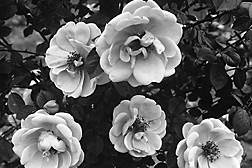 In 1924, BARC researchers release Mary Wallace, the first shrub rose that is also multi-disease resistant: Click here for full photo caption.