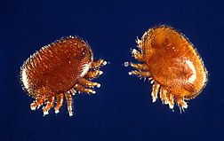 Varroa mites: Click here for photo caption.