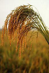 U.S. long grain rice: Click here for photo caption.