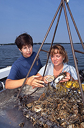 Oysters collected from the Choptank River by chemists: Click here for full photo caption.