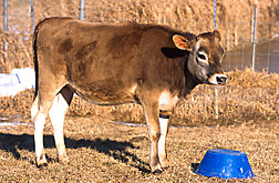 "The first transgenic cow, named ""Annie"": Click here for full photo caption."