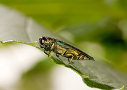 Photo: Emerald ash borer, Agrilus planipennis. Link to photo information