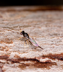 The parasitic wasp Tetrastichus planipennisi: Click here for full photo caption.