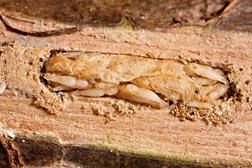 A brood of Tetrastichus planipennisi wasp pupae feeding on an emerald ash borer (EAB) larva in an ash log: Click here for photo caption.