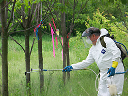ARS entomologist sprays a formulation of spores of the fungus Beauveria bassiana on an ash tree at a test site in Michigan: Click here for full photo caption.
